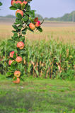 Ramificación del manzano Por completo de manzanas fotografía de archivo