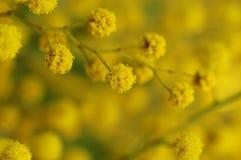 Ramificación del Mimosa Fotografía de archivo