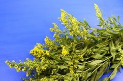 Ramificación del mimosa Foto de archivo