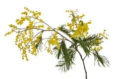 Ramificación del mimosa del primer Imagen de archivo libre de regalías