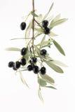 Ramificación del olivo Fotos de archivo