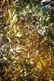 Ramificación del olivo Fotos de archivo libres de regalías