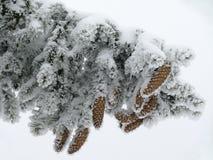 Ramificación del pino Foto de archivo libre de regalías
