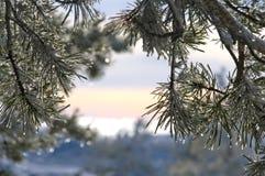 Ramificación del pino Imagen de archivo libre de regalías