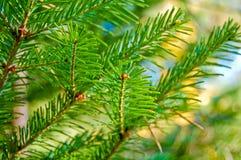 Ramificación del pino Imágenes de archivo libres de regalías