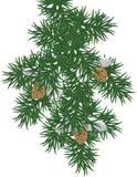 Ramificación del pino Fotografía de archivo libre de regalías