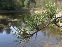 Ramificación del pino Imagen de archivo