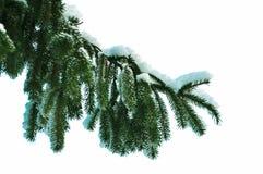 Ramificación del pino con el aislamiento de la nieve en blanco Imágenes de archivo libres de regalías