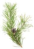 Ramificación del pino con el cono Fotografía de archivo