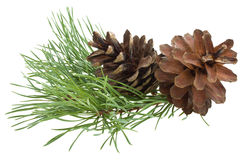 Ramificación del pino con los conos Foto de archivo libre de regalías