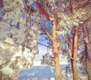 Ramificación del pino con los conos en la nieve Fotografía de archivo