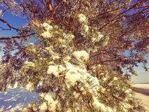 Ramificación del pino con los conos en la nieve Fotos de archivo