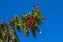 Ramificación del pino del paisaje Foto de archivo