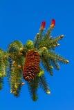Ramificación del pino del retrato Foto de archivo libre de regalías