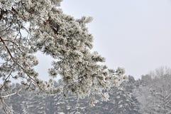 ramificación del pino en nieve Imagen de archivo libre de regalías