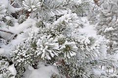 ramificación del pino en nieve Imágenes de archivo libres de regalías