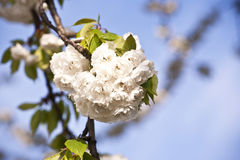 Ramificación del primer de la floración en resorte Foto de archivo libre de regalías