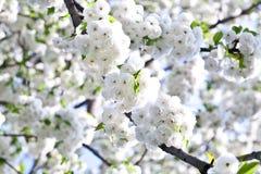 Ramificación del primer de la floración en resorte Fotografía de archivo libre de regalías
