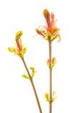 Ramificación floreciente Fotografía de archivo libre de regalías