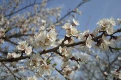 Ramificación floreciente Foto de archivo libre de regalías