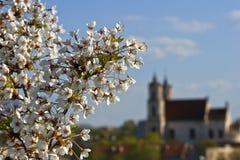 Ramificación floreciente de la cereza Imagenes de archivo