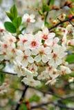 Ramificación floreciente de la cereza Foto de archivo libre de regalías