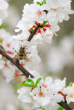Ramificación floreciente de la cereza Fotos de archivo libres de regalías