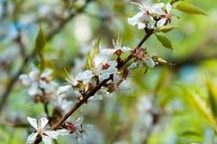 Ramificación floreciente de la cereza Foto de archivo