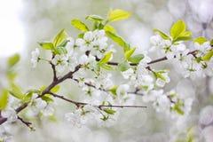 Ramificación floreciente de la manzana Fotos de archivo