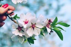 Ramificación floreciente del árbol frutal Imagen de archivo libre de regalías