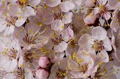 Ramificación floreciente del albaricoque Foto de archivo libre de regalías