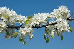 Ramificación floreciente del manzano Foto de archivo libre de regalías