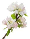 Ramificación floreciente del manzano Imágenes de archivo libres de regalías