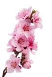 Ramificación floreciente del melocotón Foto de archivo libre de regalías