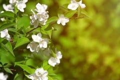 Ramificación floreciente hermosa del jazmín Fotografía de archivo