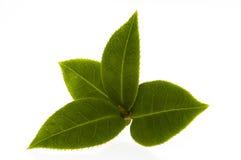 Ramificación fresca del té aislada en el fondo blanco Foto de archivo