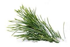 Ramificación mojada verde del pino sobre blanco Fotos de archivo