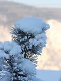 Ramificación nevada del pino Imagenes de archivo