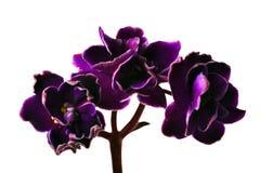 Ramificación oscura de tres violetas Imagen de archivo libre de regalías