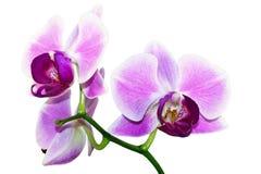 Ramificación púrpura de la orquídea imágenes de archivo libres de regalías