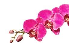 Ramificación rosada de la orquídea fotografía de archivo libre de regalías