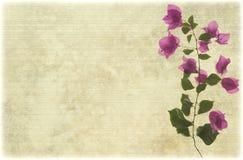 Ramificación rosada del bougainvillea en el pergamino acanalado pálido Imagen de archivo libre de regalías