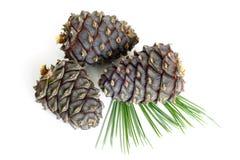 Ramificación siberiana del pino con los conos Imágenes de archivo libres de regalías