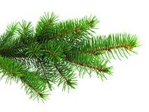 Ramificación spruce verde fresca Imagenes de archivo