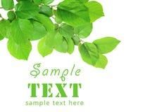 Ramificación verde aislada en un fondo blanco Imágenes de archivo libres de regalías