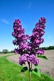 Ramificación verde con las flores de la lila del resorte Foto de archivo