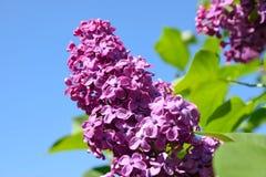 Ramificación verde con las flores de la lila del resorte Fotos de archivo libres de regalías