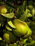 Ramificación verde de la pera en el jardín Foto de archivo