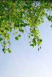Ramificación verde del follaje y cielo azul Fotografía de archivo