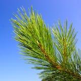 Ramificación verde del pino Imagenes de archivo